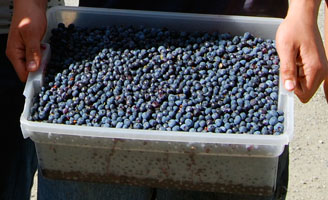 denali highway blueberries